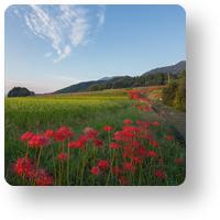 九品寺の彼岸花と青空_icon