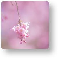 平安神宮の紅枝垂れ_icon