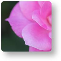 おふさ観音の薔薇_icon