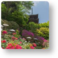 當麻寺 護念院の牡丹とツツジ_アイコン