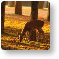 奈良公園の子鹿_icon