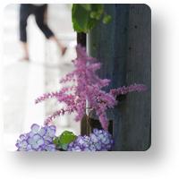明月院の紫陽花_アイコン
