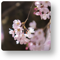 氷室神社の桜_icon