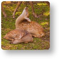 鹿園の小鹿_icon