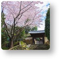 白毫寺の桜_icon