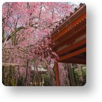 平安神宮の紅枝垂れ2_icon