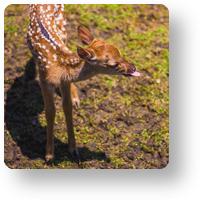 赤ちゃん鹿_icon
