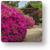 長岳寺の平戸躑躅_アイコン