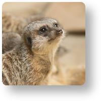 上野動物園 ミーアキャット_icon