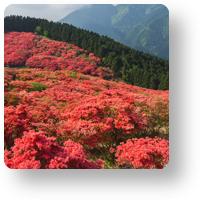 葛城山のツツジ_icon