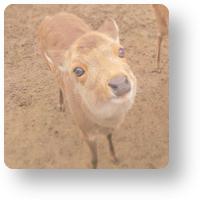 飛火野の鹿よせ_icon