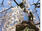氷室神社の桜と狛犬