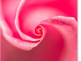 松尾寺の薔薇