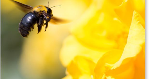 薔薇とクマバチ