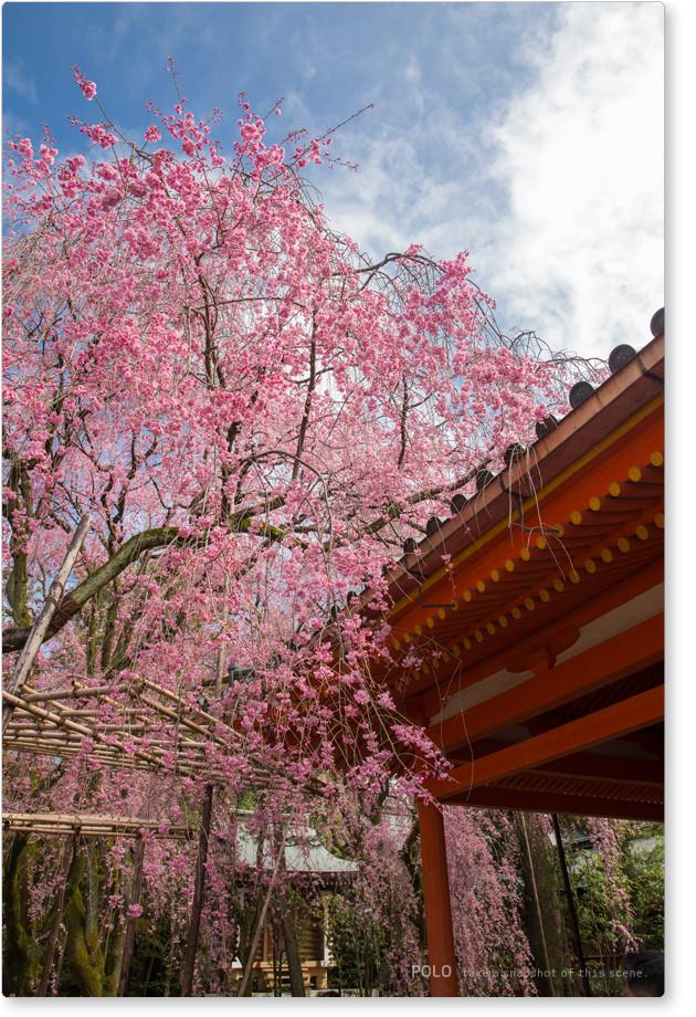 平安神宮の紅枝垂れ2