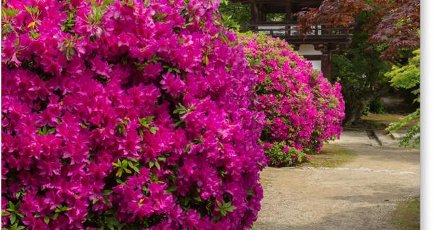 長岳寺の平戸躑躅
