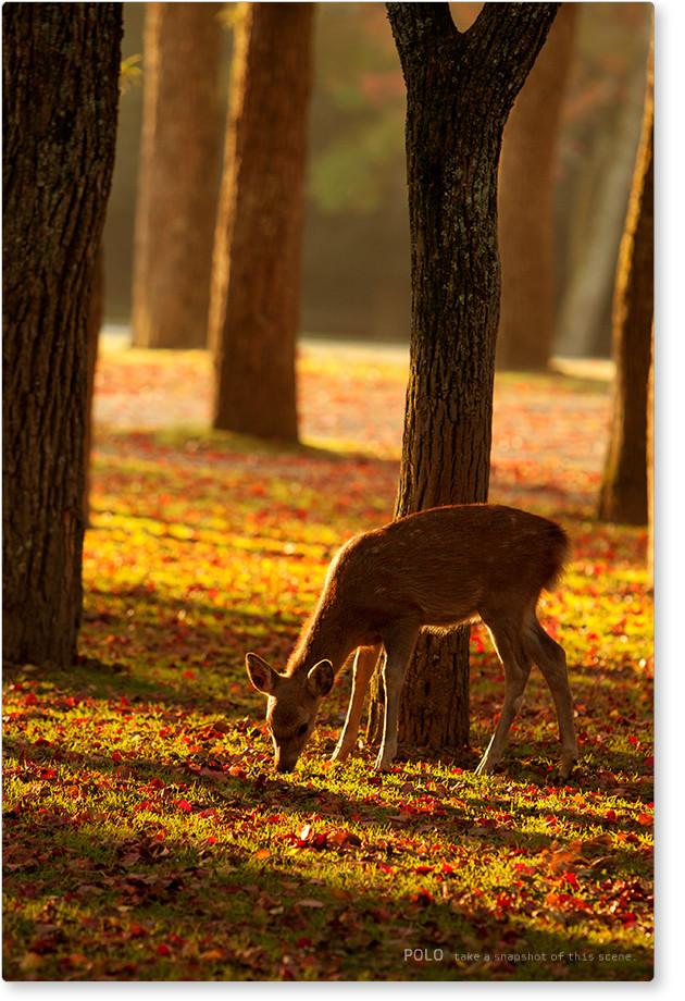 奈良公園の子鹿