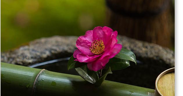 円覚寺の椿