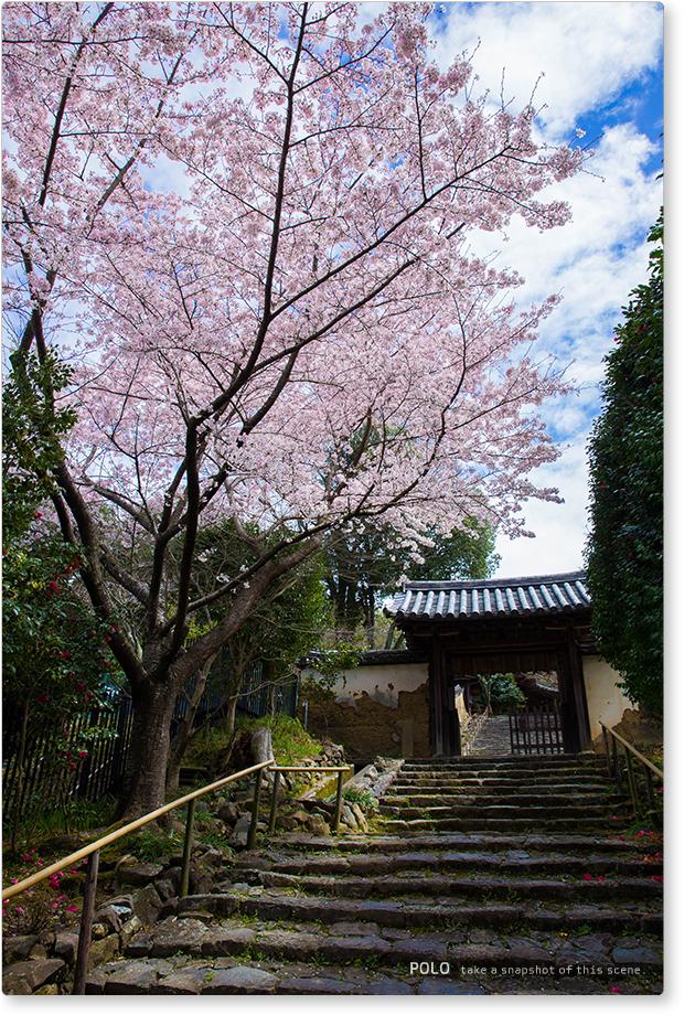 白毫寺の桜