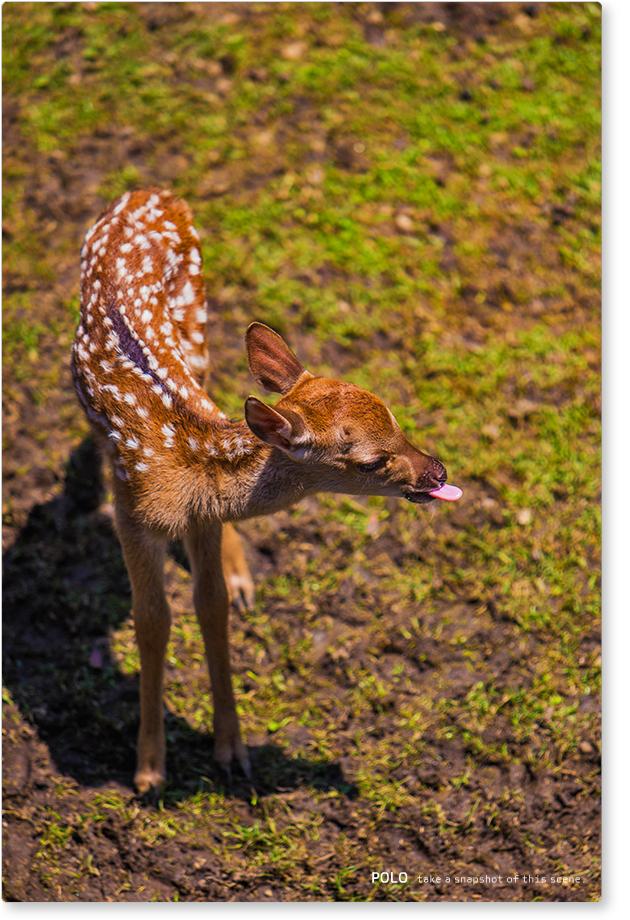 赤ちゃん鹿