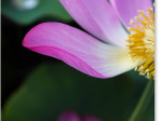 喜光寺の蓮の花びら