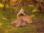 鹿園の小鹿_