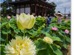 喜光寺の黄色い蓮