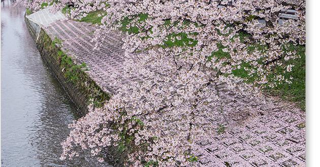 高田千本桜