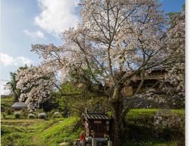 北向き地蔵桜