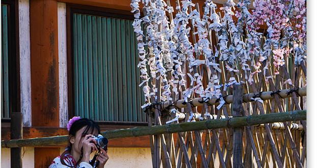 氷室神社の桜2