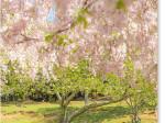 奈良公園の桜と鹿_2