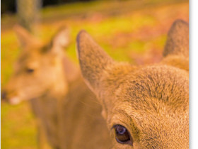 若草山の鹿