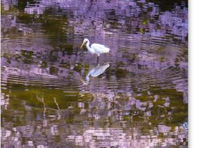 鷺池と小鷺