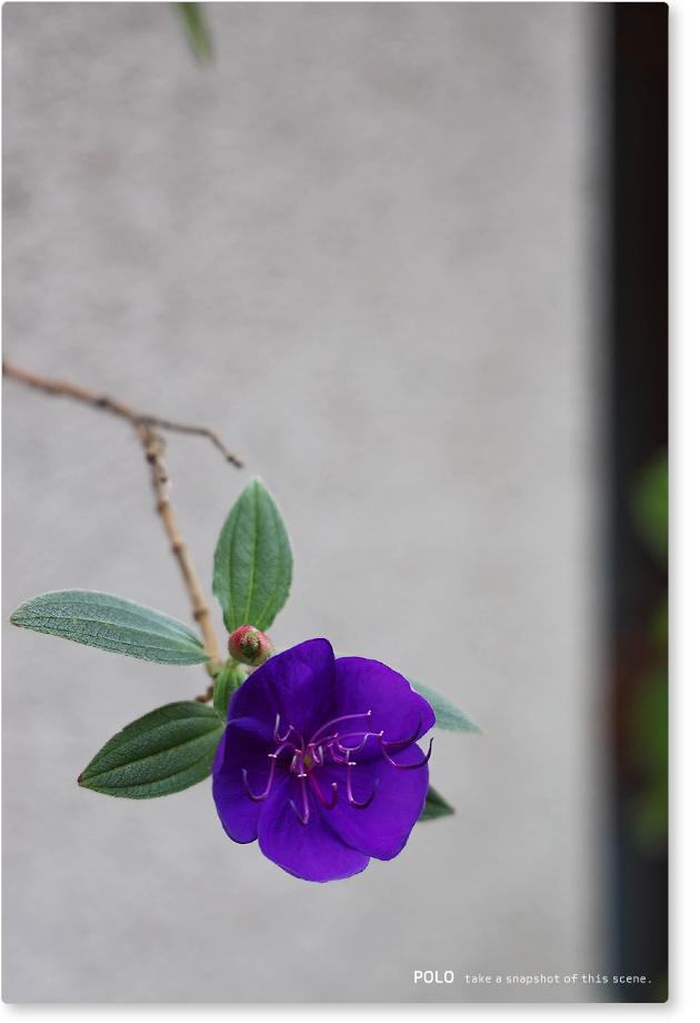 紫紺野牡丹_