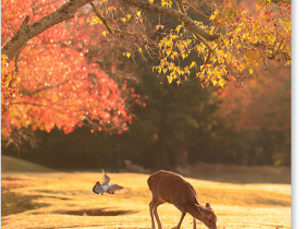 飛火野の鹿