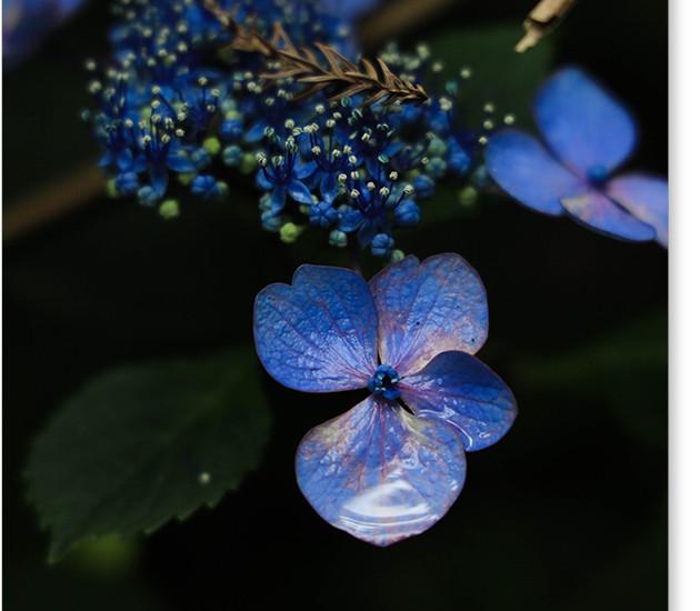 久米寺の紫陽花